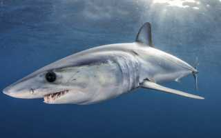 FWC Increases Size Limits for Shortfin Mako Sharks